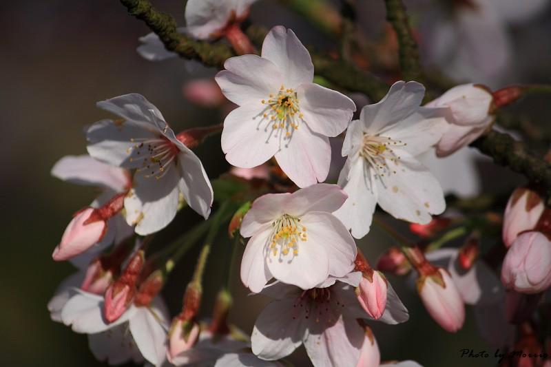 2010阿里山櫻花季 (36)