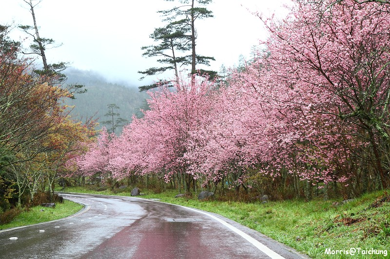 武陵農場粉紅櫻花季 (17)