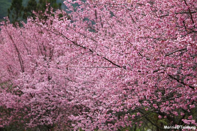 武陵農場粉紅櫻花季 (69)