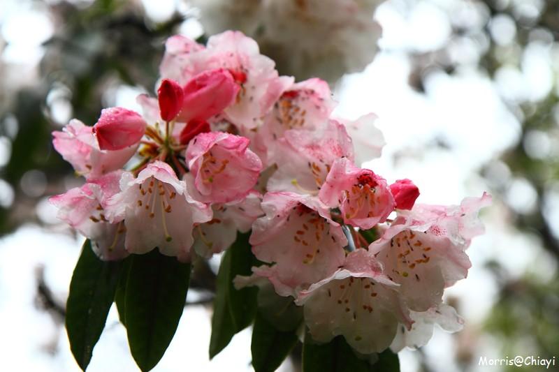 2011 阿里山櫻花季 (106)