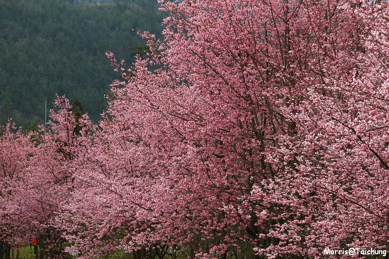 武陵農場粉紅櫻花季 (68)