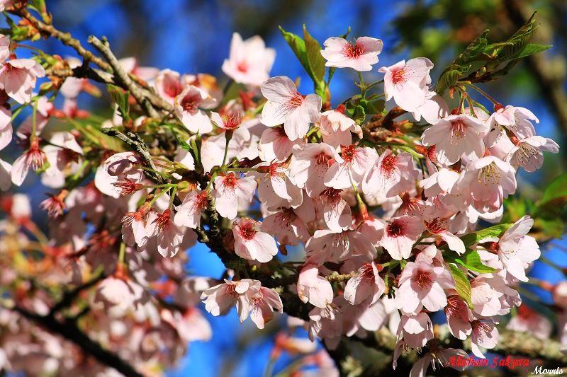 不一樣的阿里山櫻花季 (02)