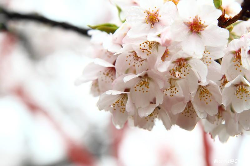 2011 阿里山櫻花季 (59)