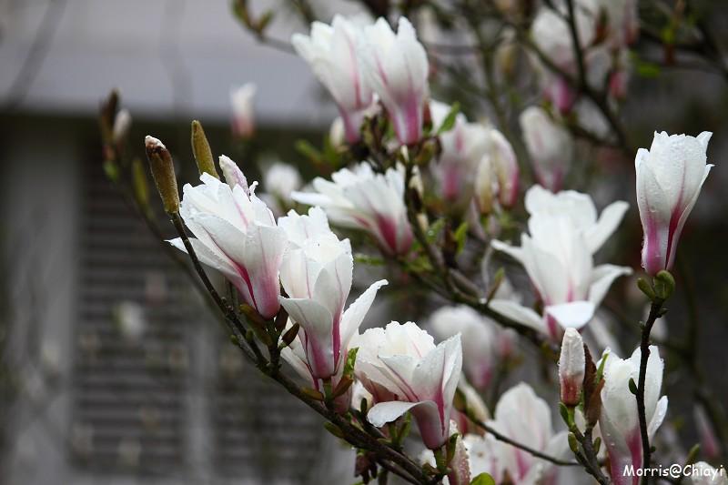 2011 阿里山櫻花季 (157)