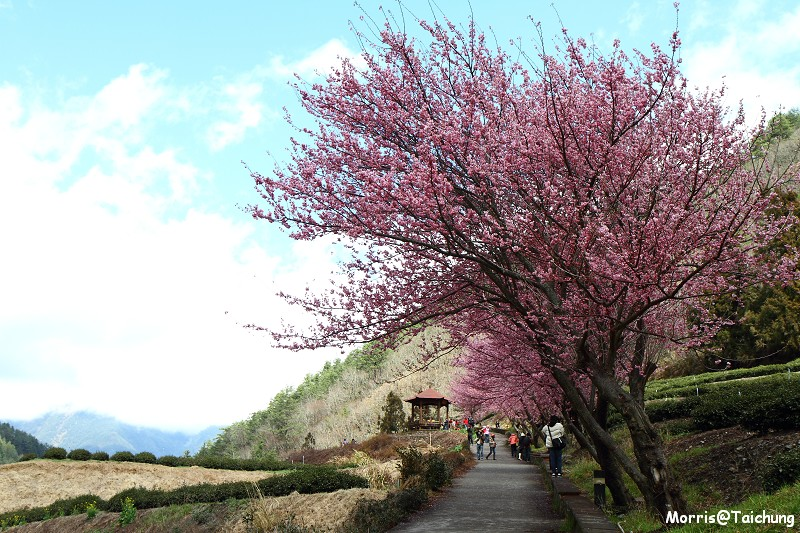 武陵農場粉紅櫻花季 (108)