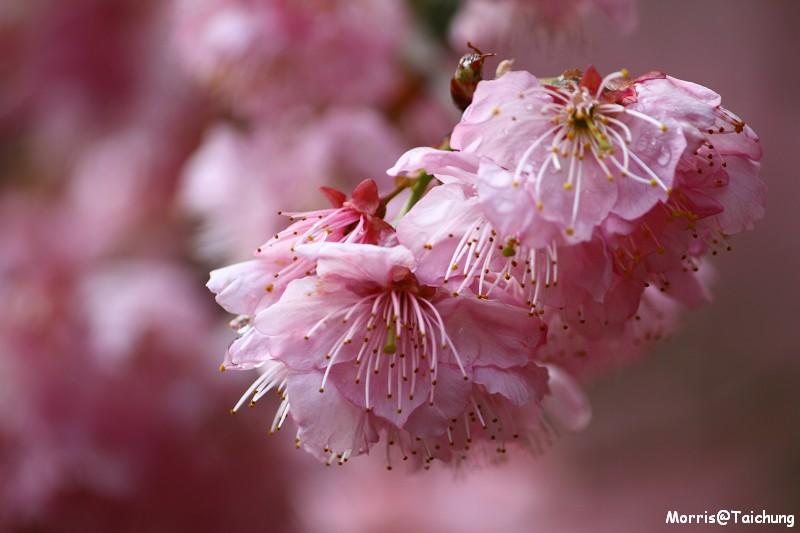 武陵農場粉紅櫻花季 (84)