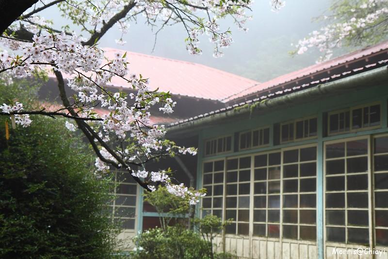 2011 阿里山櫻花季 (90)