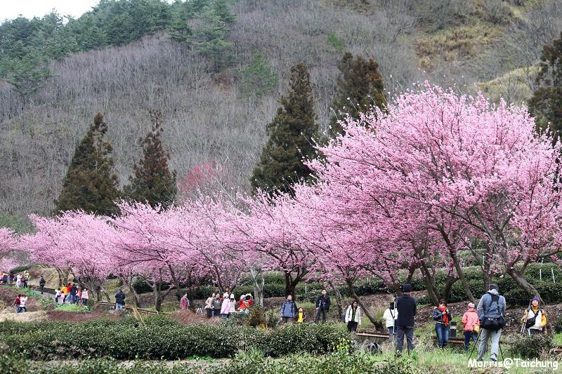 武陵農場粉紅櫻花季 (105)