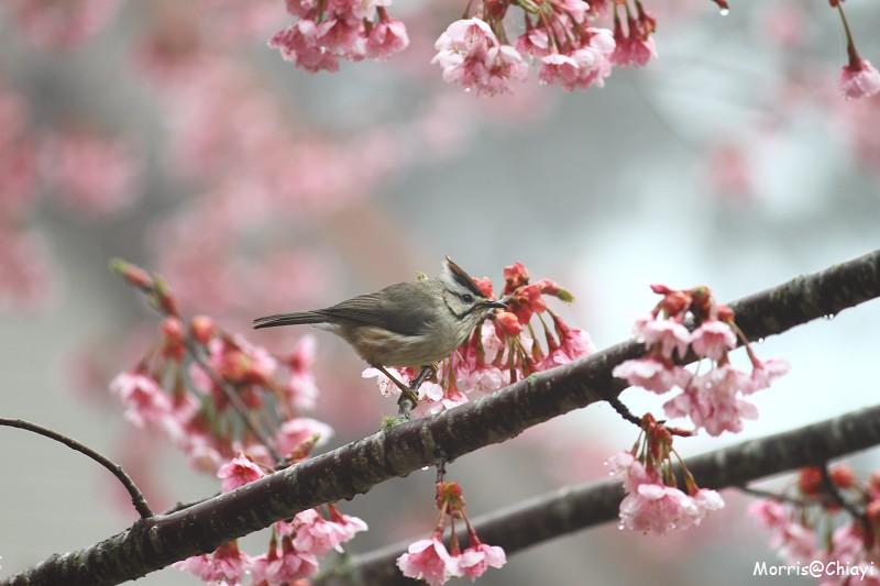 2011 阿里山櫻花季 (137)