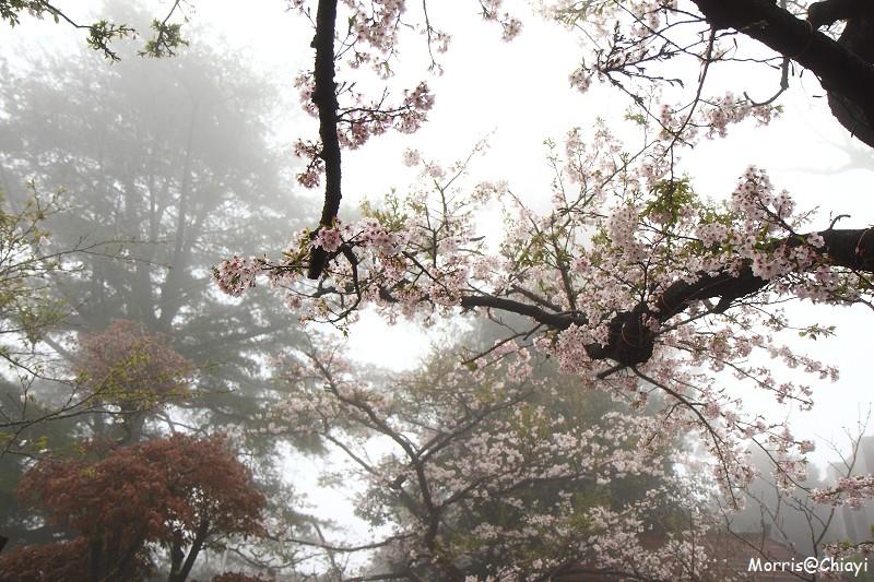 2011 阿里山櫻花季 (51)