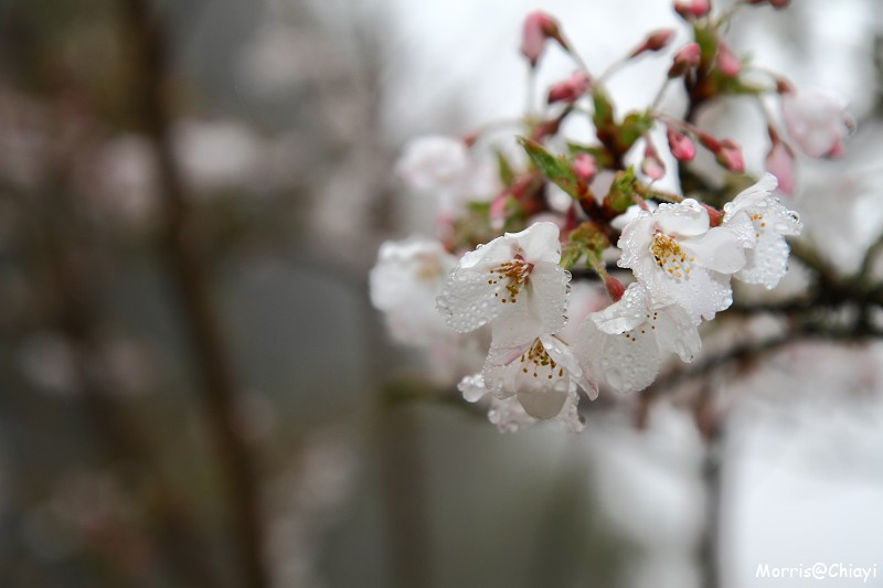 2011 阿里山櫻花季 (3)