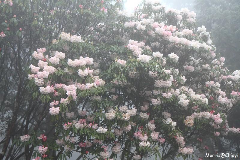 2011 阿里山櫻花季 (25)
