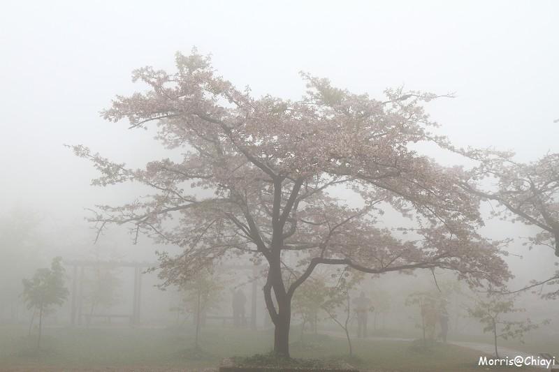 2011 阿里山櫻花季 (44)