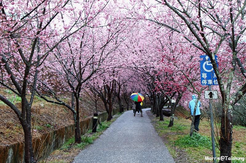 武陵農場粉紅櫻花季 (5)