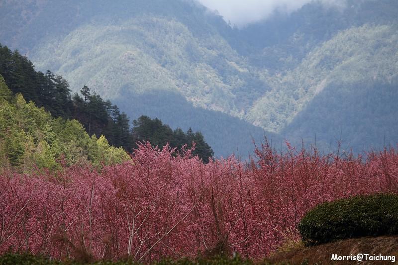 武陵農場粉紅櫻花季 (137)