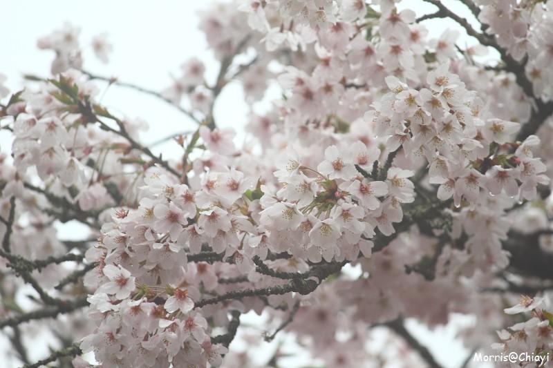2011 阿里山櫻花季 (125)