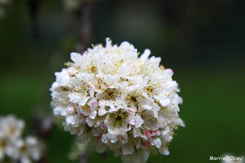 2011 阿里山櫻花季 (104)