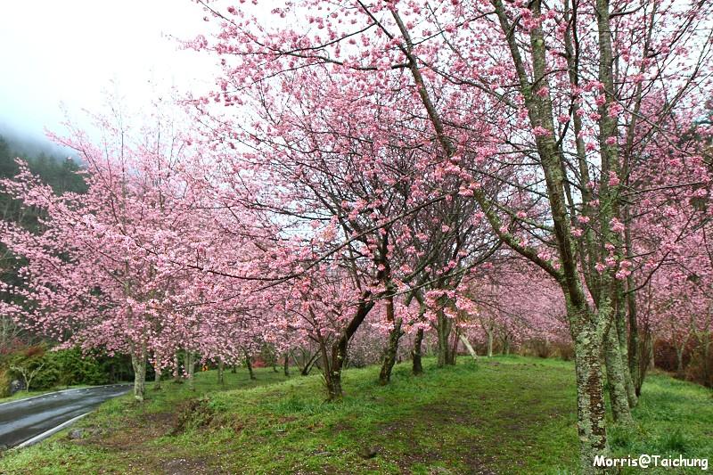 武陵農場粉紅櫻花季 (25)