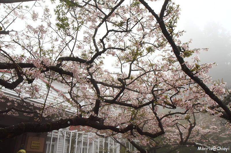 2011 阿里山櫻花季 (52)
