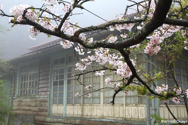 2011 阿里山櫻花季 (82)