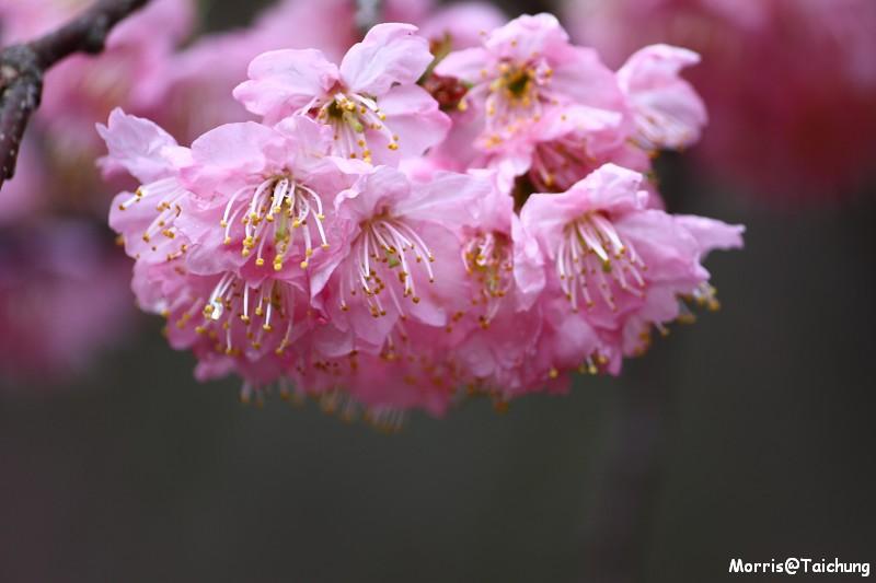 武陵農場粉紅櫻花季 (66)