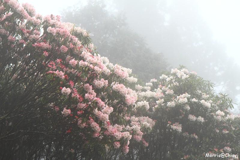 2011 阿里山櫻花季 (26)