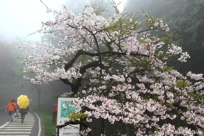 2011 阿里山櫻花季 (37)