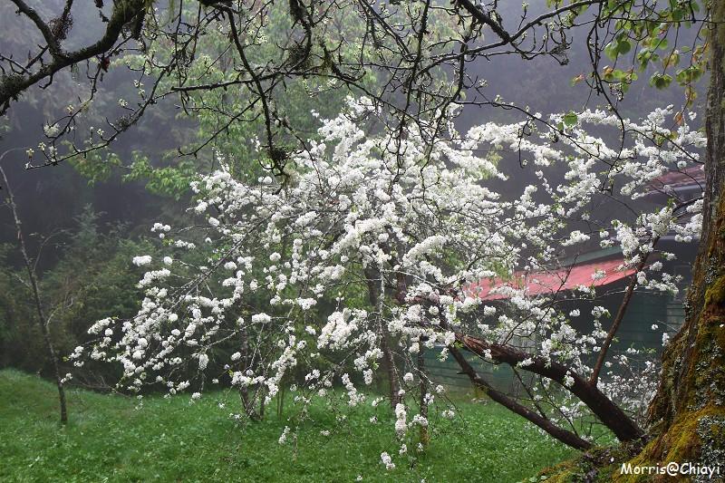 2011 阿里山櫻花季 (105)