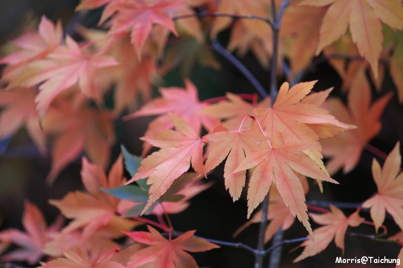 2011 福壽山楓葉 (10)