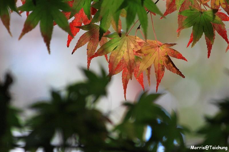 2011 福壽山楓葉 (54)