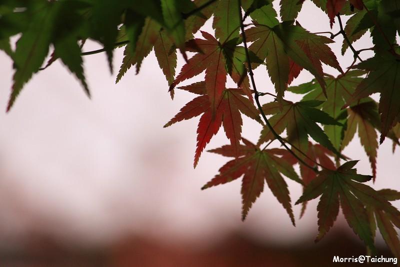 2011 福壽山楓葉 (60)