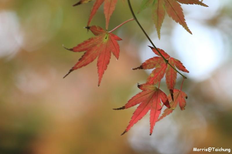 2011 福壽山楓葉 (34)
