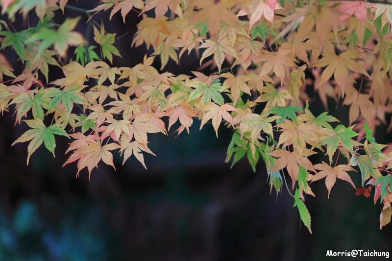 2011 福壽山楓葉 (19)