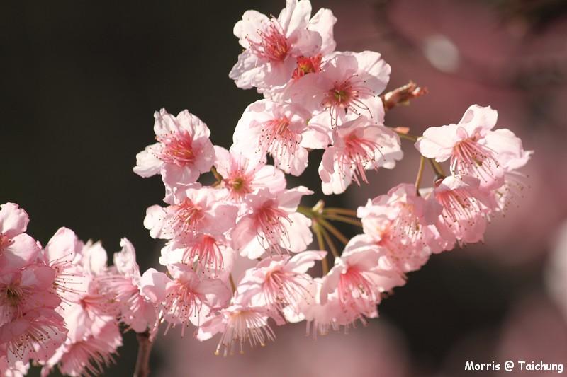 2012 武陵櫻花季 (67)