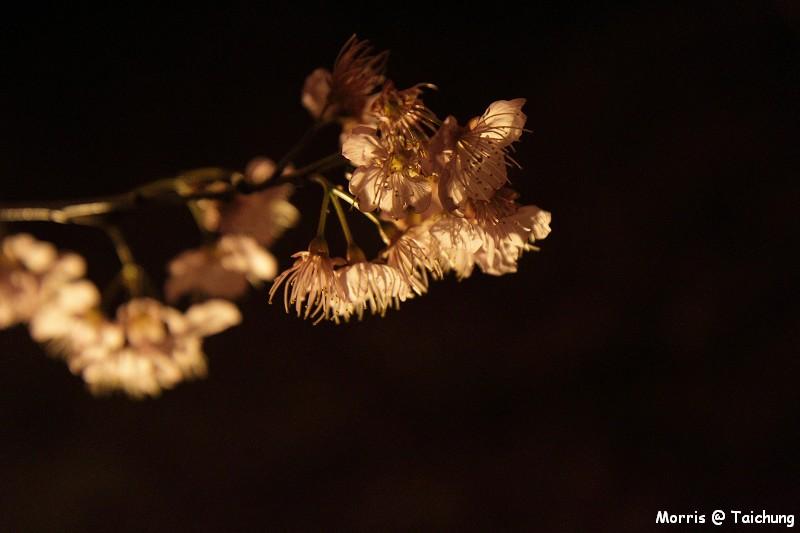 2012 武陵櫻花季 (2)