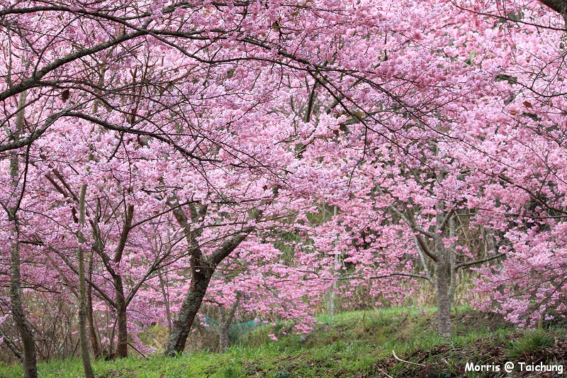 2012 武陵櫻花季 (13)