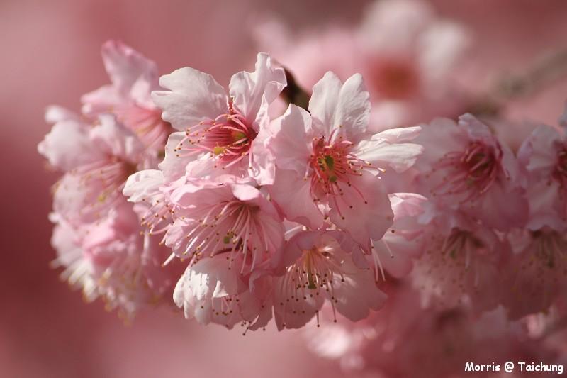 2012 武陵櫻花季 (64)