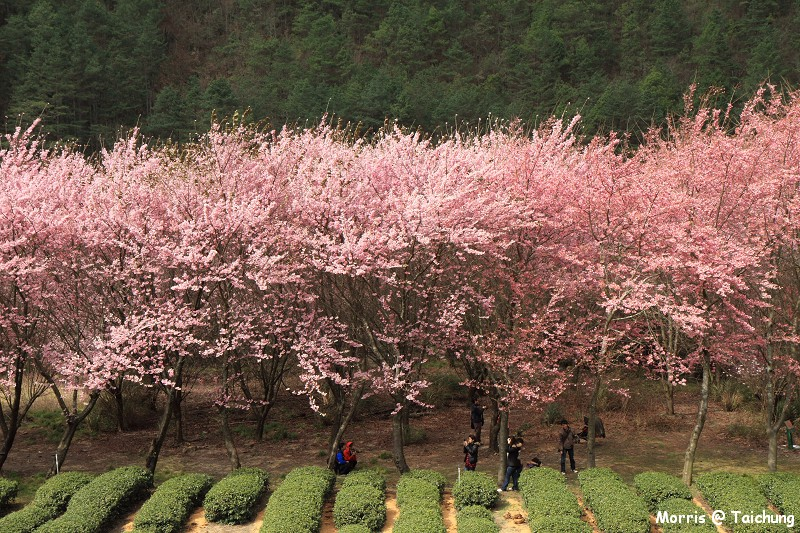 2012 武陵櫻花季 (88)