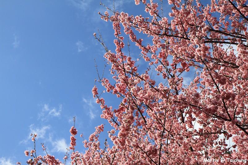 2012 武陵櫻花季 (35)