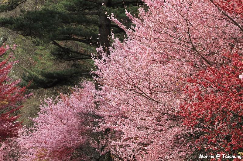 2012 武陵櫻花季 (59)