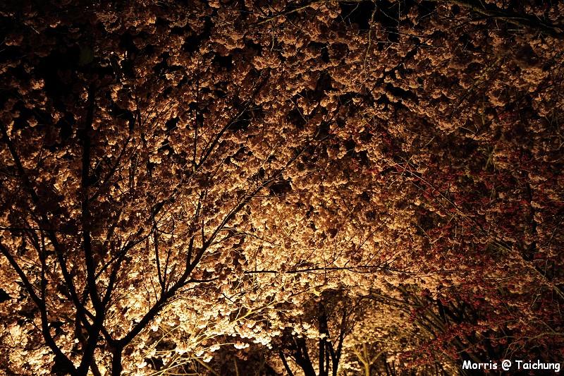2012 武陵櫻花季