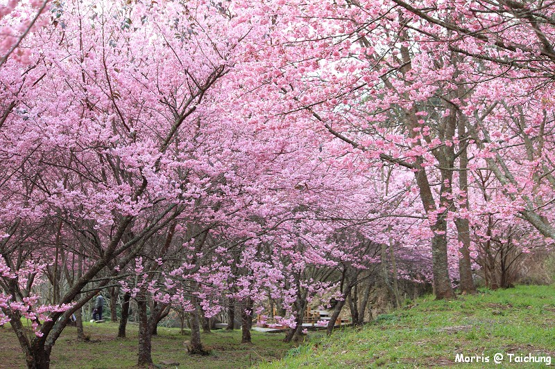 2012 武陵櫻花季 (12)