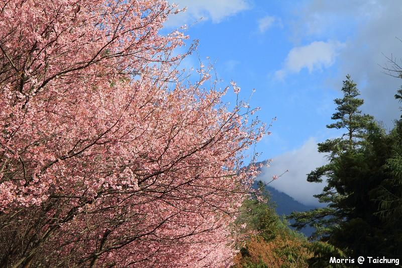 2012 武陵櫻花季 (40)