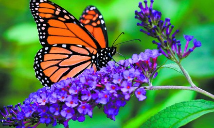 Federal Protection for Monarch Butterfly Warranted but Precluded
