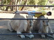 Planking across camels