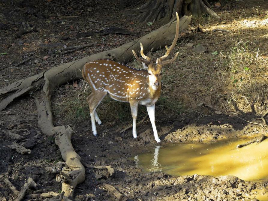 Axishirsch im Ranthambore Nationalpark