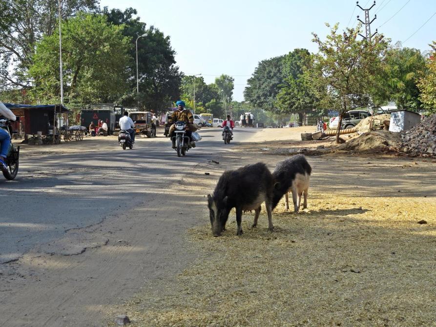 Straßenschweine auf Futtersuche
