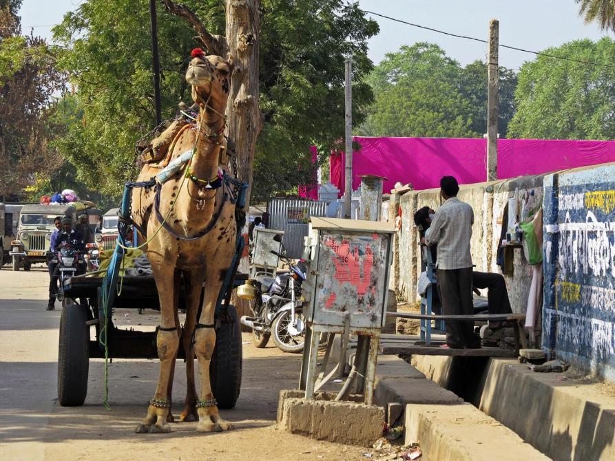 Kamelkarren in Sawai Madhopur