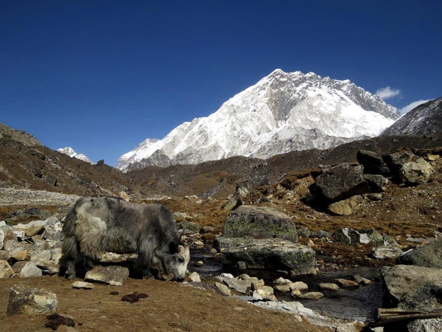 Nuptse, Yak, Himalaja