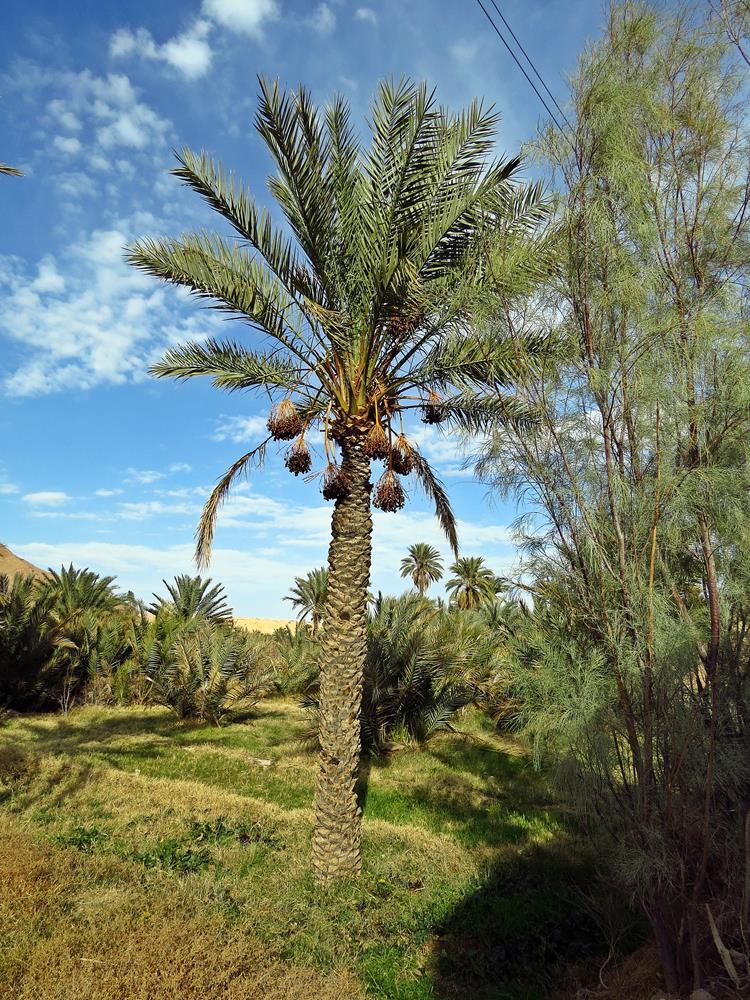 Dattelpalme, Garmeh, Iran